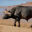 Stock Photo: African buffalo bull