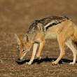 Black-backed Jackal — Stock Photo #1791887