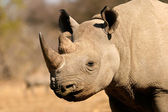 Black rhinoceros — Stock Photo