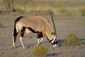 Gemsbock-antilope — Stockfoto