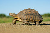 Mountain tortoise — Stock Photo