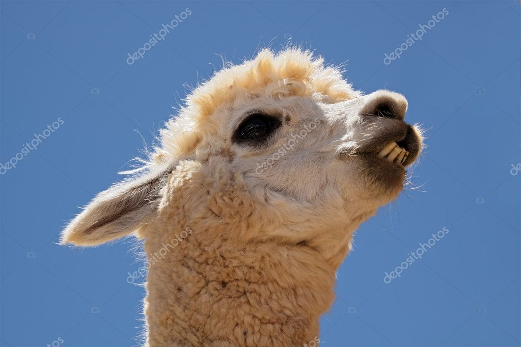 Portrait of Alpaca (Vicugna pacos), domesticated species of South American camelid — Stock Photo #1791826