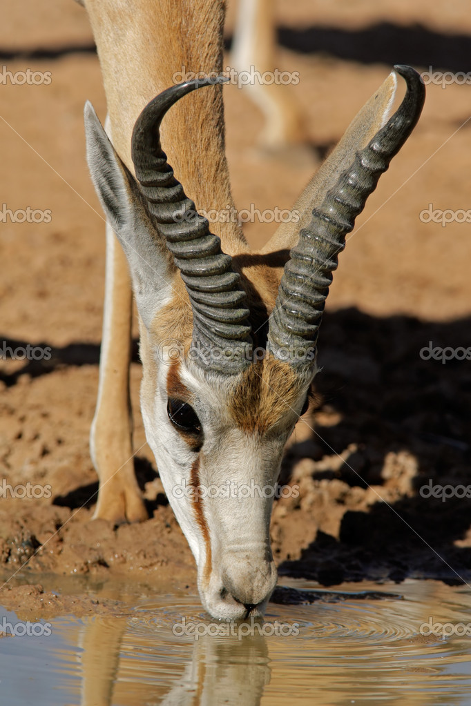 Portrait of a springbok antelope (Antidorcas marsupialis) drinking water, Kalahari desert, South Africa — Stock Photo #1791949