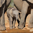 African elephant calf — Stock Photo #1851612