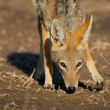 Black-backed Jackal — Stock Photo #1851669