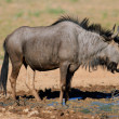 Blue wildebeest — Stock Photo #1851675