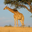 Giraffe and Acacia tree - Stock Photo
