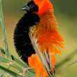 Male red bishop bird - Stock Photo