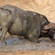 African buffalo bull — Stock Photo #1852225