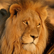 Big male Africlion — Stock Photo #1852281