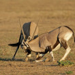 Fighting Gemsbok — Stock Photo