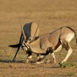 Stock Photo: Fighting Gemsbok