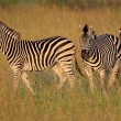 Plains Zebras — Stock Photo #1852560