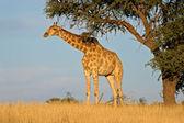 Giraffe und Akazie Baum — Stockfoto