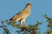 Pale Chanting goshawk — Stock Photo