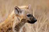 Hyena portrait — Stock Photo