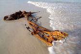 Kelp on the beach — Stock Photo