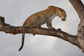 Leopard in tree — Stock Photo