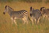 Plains Zebras — Stock Photo