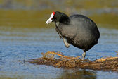 Redknobbed coot 02 — Stock Photo