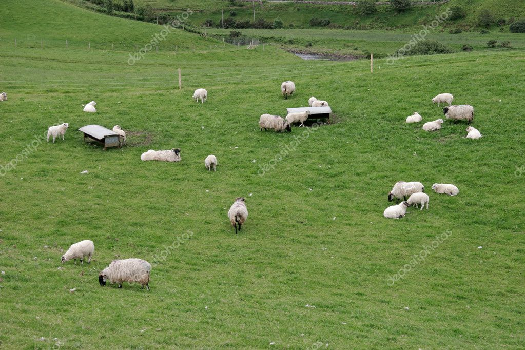 Irish sheep farm with sheep grazing on lush green pastures  Stock Photo #1851831