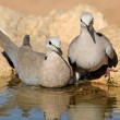 Cape turtle doves - Stock Photo