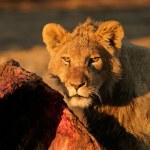 Feeding African lion — Stock Photo