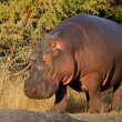 Hippopotamus — Stock Photo #1867757