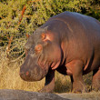 Hippopotamus - Stockfoto
