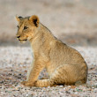 Lion cub — Stock Photo #1867794