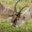 Waterbuck interaction — Stock Photo #1867910