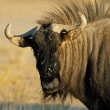 Blue wildebeest — Stock Photo