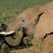 Stock Photo: Feeding Africelephant