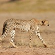 Stalking Cheetah — Stock Photo #1868582