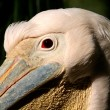 White pelican portrait — Stock Photo