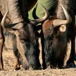 Wildebeest drinking - Stock Photo