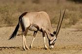 Gemsbok antelope — Stock Photo