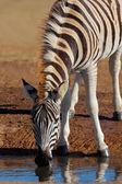 Plains Zebra drinking — Stock Photo