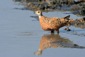 Spotted sandgrouse — Stock Photo