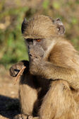 Chacma baboon — Stock Photo