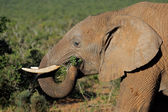 Feeding African elephant — Stock Photo