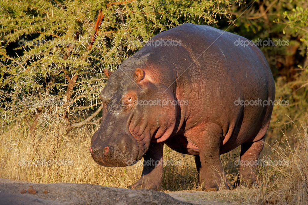 Hippopotamus (Hippopotamus amphibius), South Africa  Stock Photo #1867757