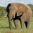 African bull elephant — Stock Photo #1871281