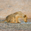 Lion cub drinking water — Stock Photo #1871511