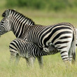 Plains Zebra with foal — Stok fotoğraf