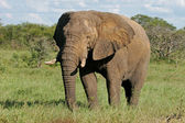 African bull elephant — Stock Photo