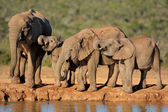 African elephants at waterhole — Stock Photo