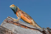 Ground agama — Stock Photo
