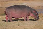 Hippopotamus — Stockfoto