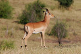 Antilope impala — Photo